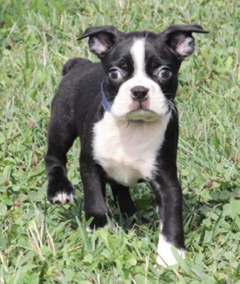 Boston Terrier,Adopt a Boston Terrier puppy, adopt a pup, adopt a dog, Boston Terrier puppy for sale, puppy for sale, pup for sale, Boston Terrier puppy for sale in broward county.