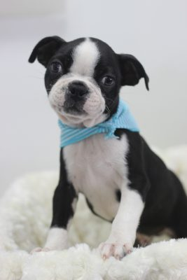 Bostonterrier1