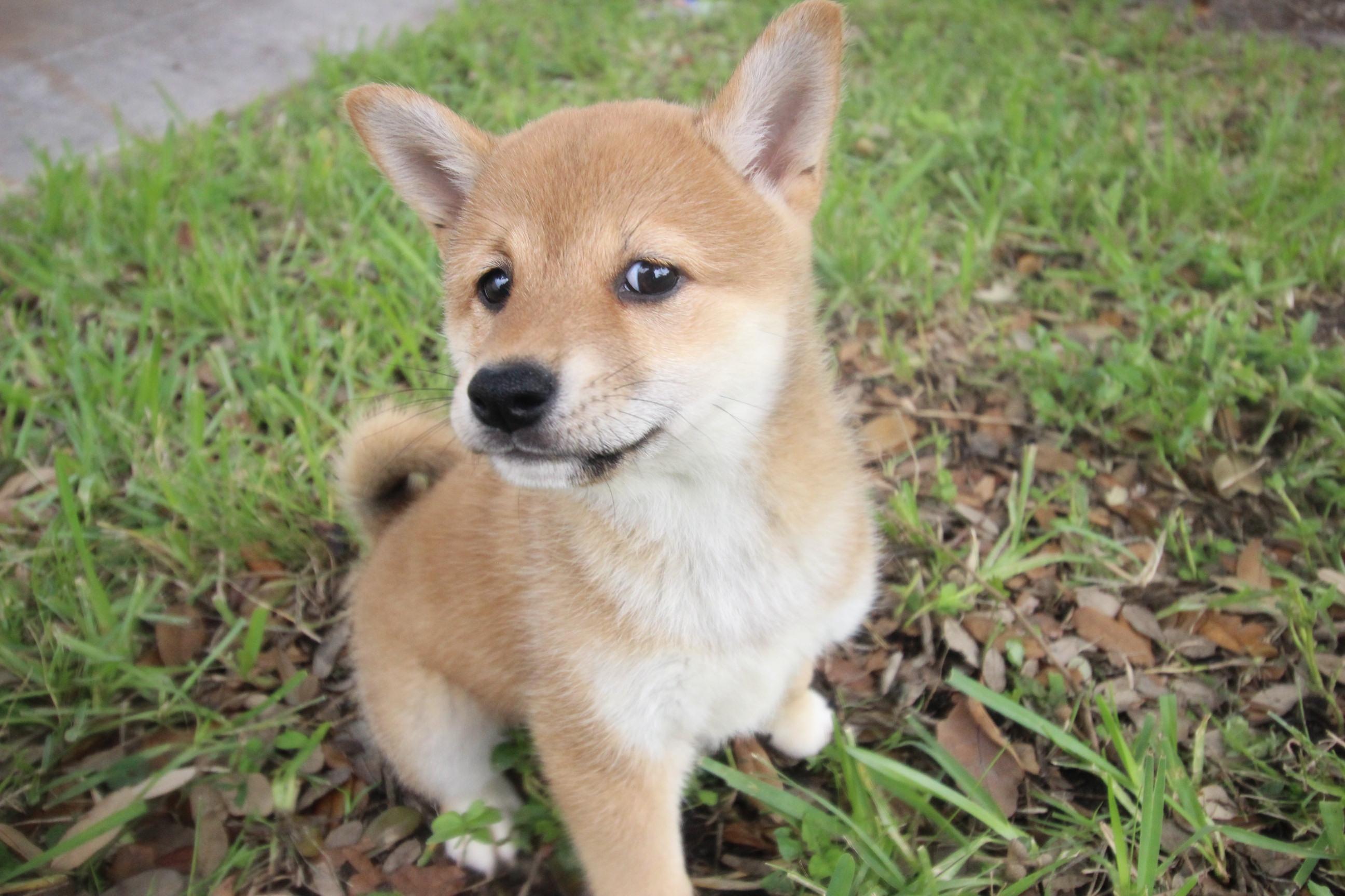 shiba inu puppy   stark   puppies in florida